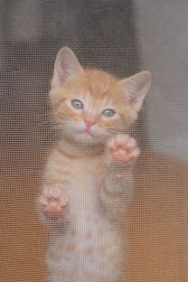 網戸に登ろうする子猫(写真1)