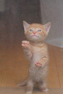 網戸に登ろうする子猫(写真2)