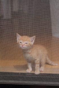 網戸に登ろうする子猫(写真3)