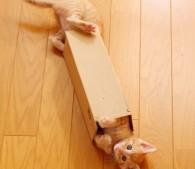 細長い段ボールをくぐる子猫たち