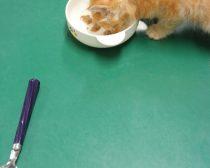 離乳食を食べる子猫