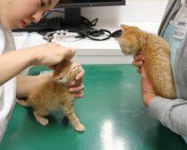 耳掃除をされる子猫