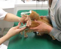 体温を測定される子猫