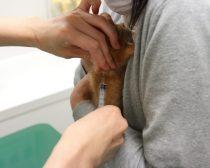 ワクチン注射中の子猫