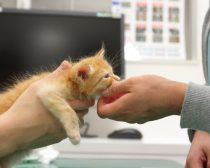 ワクチン接種後、ぐったりする子猫