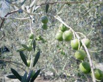 小豆島のオリーブの木