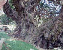宝正院にある樹齢1600年以上の真柏(しんぱく)