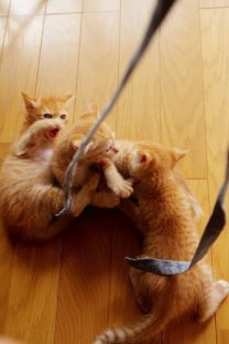紐で遊ぶ子猫(2)