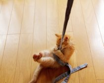 紐で遊ぶ子猫(5)