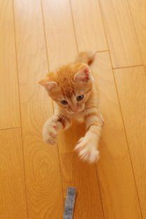 紐で遊ぶ子猫(4)