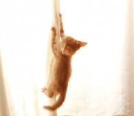 カーテンをよじ登る子猫