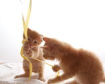 紐で遊ぶ子猫(12)