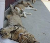 猫島こと愛媛県の青島の猫(写真:6)