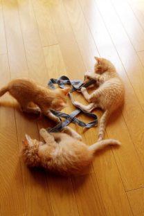 紐で遊ぶ子猫(6)