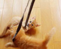 紐で遊ぶ子猫(3)