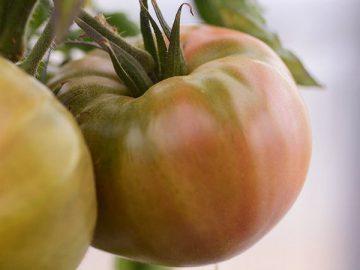 農薬使用1回で栽培されるトマト(ノーティス提供)