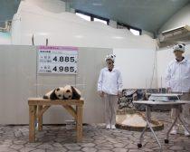 双子パンダの展示室