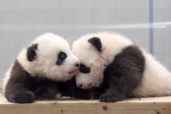 双子のパンダ