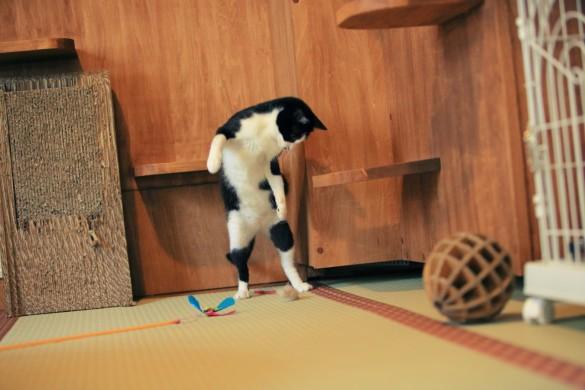 猫じゃらしで遊ぶ男爵