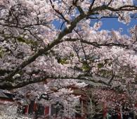 鞍馬寺本堂前の桜