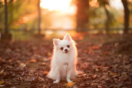 秋のチワワ