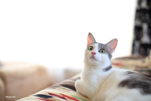 預かり猫のしろがねくん