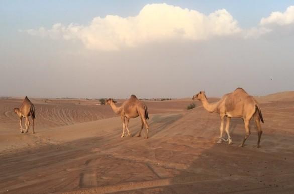 散歩するラクダ