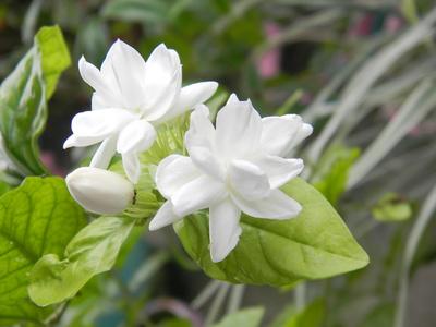 サンパギータの花