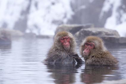 地獄谷温泉に入るスノーモンキー