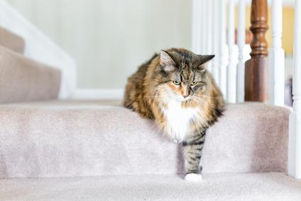 階段を下りる猫