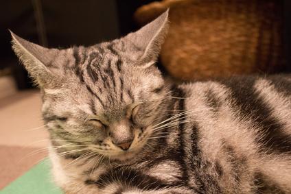 アメリカンショートヘア猫