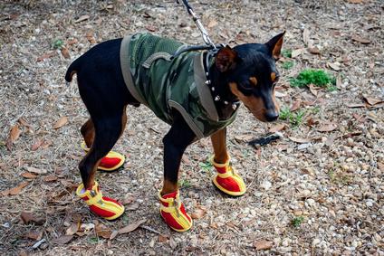 靴ブーツと服の犬