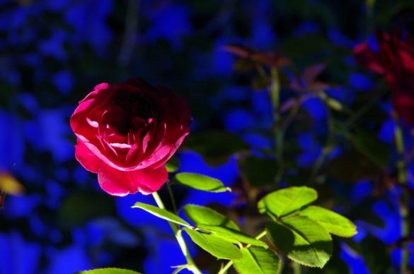 ハプニングバーっぽいバラ