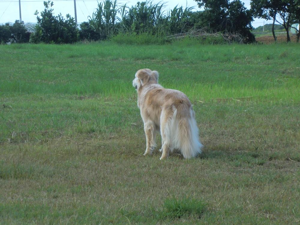 風を感じる 木附さんが16年間一緒に暮らした、ゴールデン・レトリーバーの「ケフィ」
