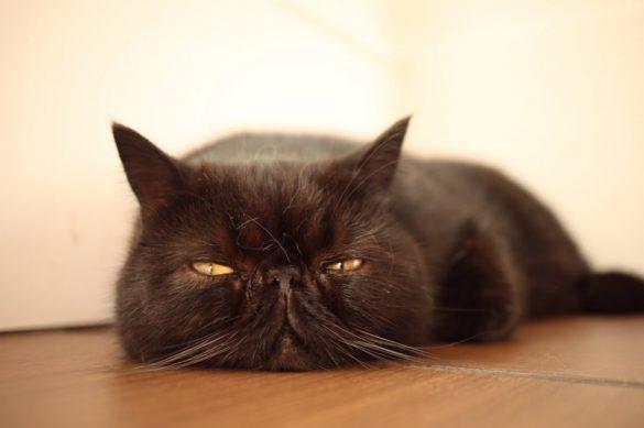 猫カフェ&ギャラリー「GATO」(山口県・山口市)の看板猫エキゾチックショートヘアのガトーくん