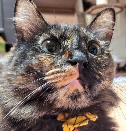 マズル 猫 ひだまり猫(@ayu07142001)さんの愛猫チャチャちゃん(2歳)