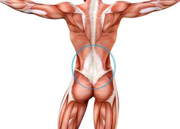青丸の部分が「胸腰腱膜」です