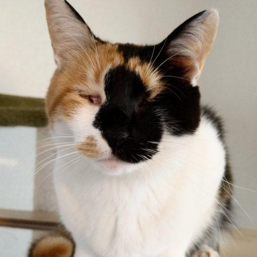 @pinowaldさん宅で暮らすつむぎさん(三毛猫/2歳)