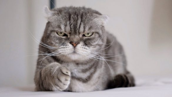 なお(@nao_co5)さんの宅の愛猫、両極端コンビ「ワル顔」ココ先輩と「ドーリーフェイス」の金さん