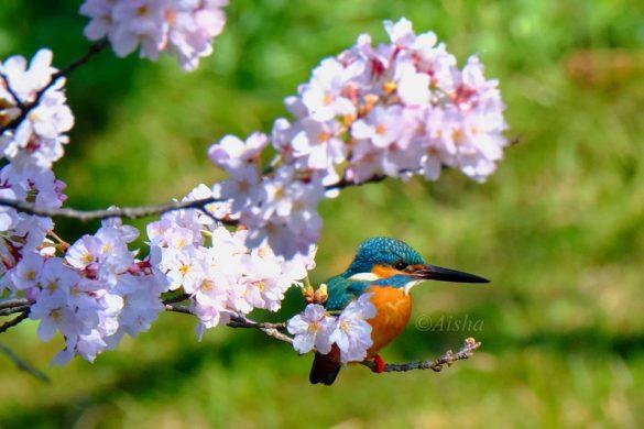 カワセミが桜にとまる