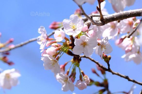 青空と桜は定番