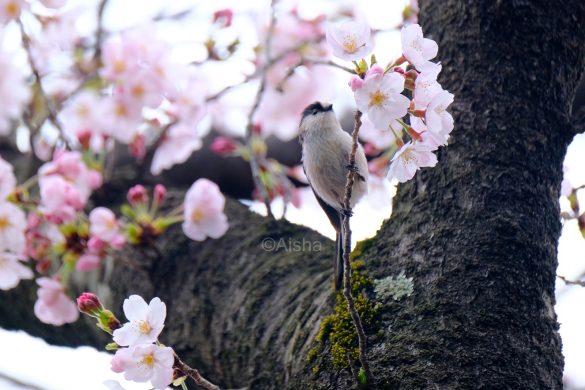 エナガと桜