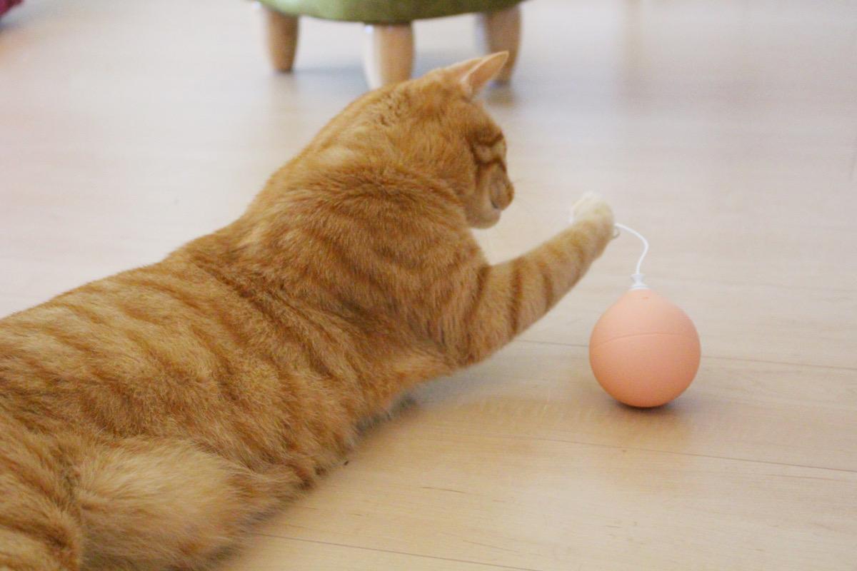 ふわふわのボールに夢中なキジトラのコタロウ