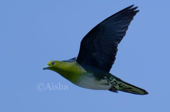アオバトは緑色の羽毛や紫の瞳が特徴