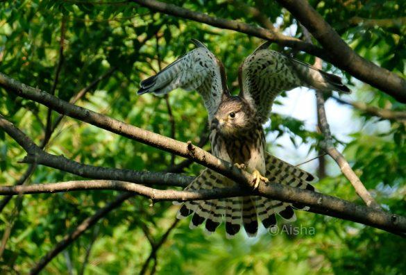 羽を広げるチョウゲンボウの若鳥