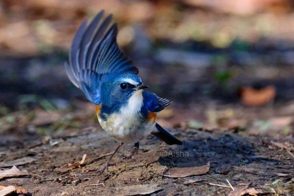 翼を上げるルリビタキ