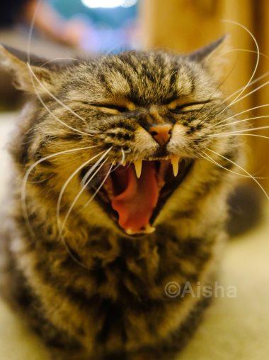 猫ちゃんの大あくびもシャッターチャンス!