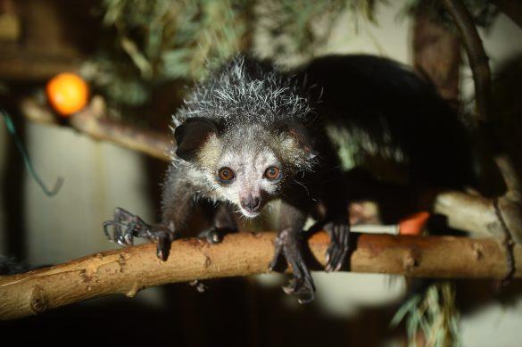 童謡で有名な猿「アイアイ」、歌のイメージと違いすぎてビックリ。どんな動物?