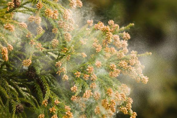 花粉症、スギ花粉
