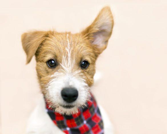 犬の耳に似ていることから「ドッグイア」と呼ばれるように